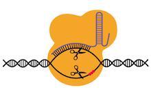CRISPR / Cas9