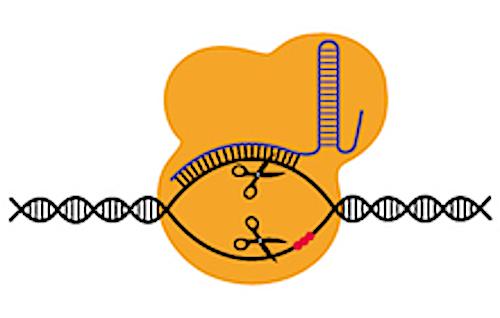 CRISPR / Cas9. Wikimedia Commons, https://commons.wikimedia.org/wiki/File:201412_CRISPRCAS9orange.png